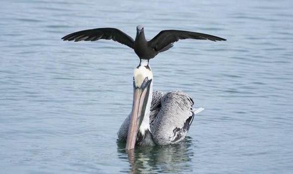 Cheeky-bird-Pelican-500946.jpg