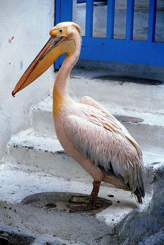 Pelican-in-Greece-001