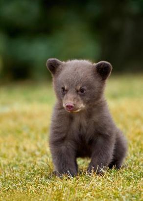 Black Bear (Ursus americanus) cub sitting in the grass