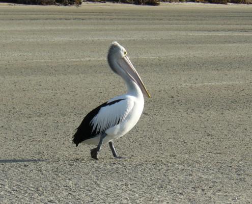 pelican-21-495x400.jpg